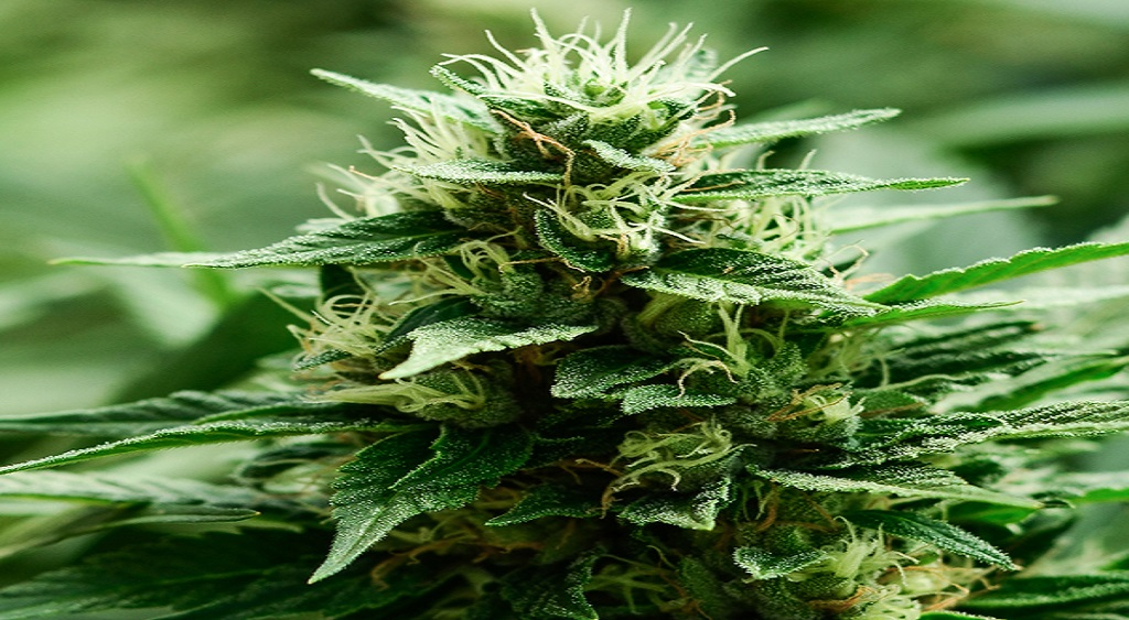 buy indica, sativa and hybrid cannabis strain