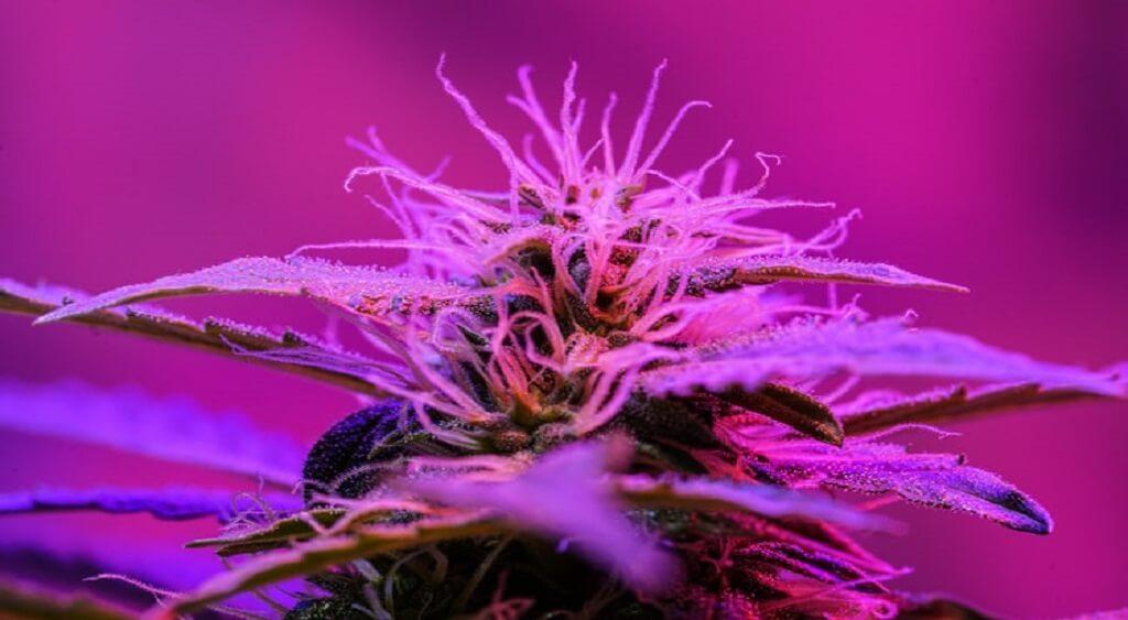 Purple Cannabis   What Makes Cannabis Strains Turn Purple